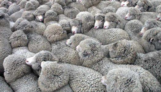 Koalicja strzyżenia owiec